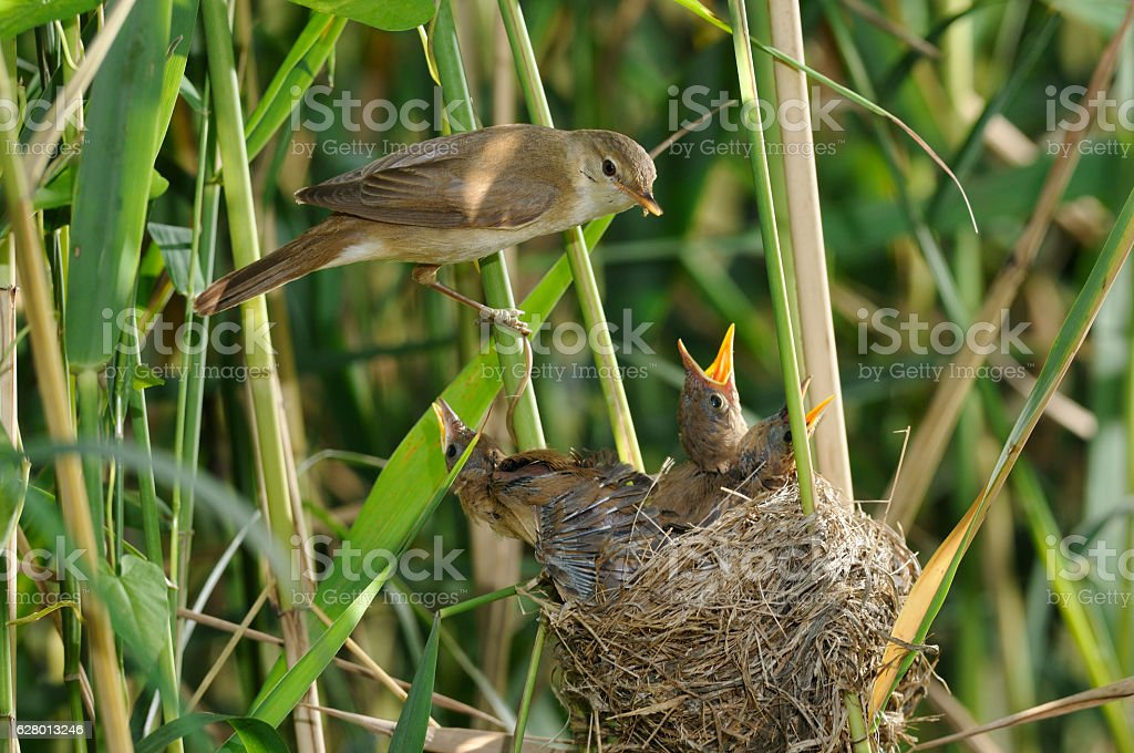 Reed warbler with chicks stock photo