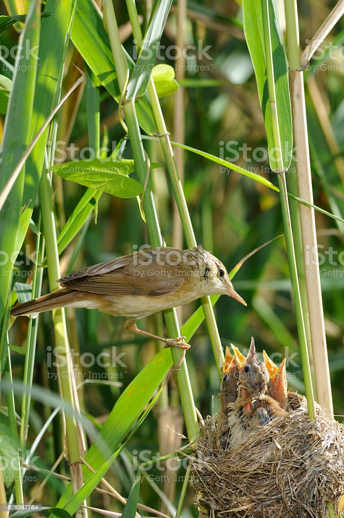 Reed Warbler with chicks (Acrocephalus scirpaceus) stock photo