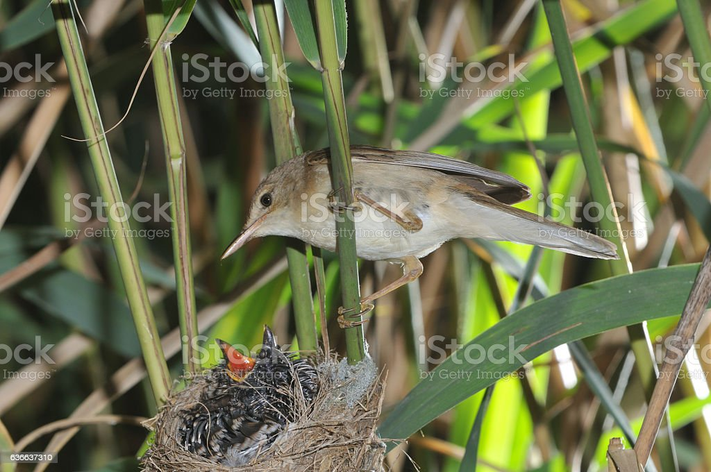 Reed warbler with cuckoo stock photo