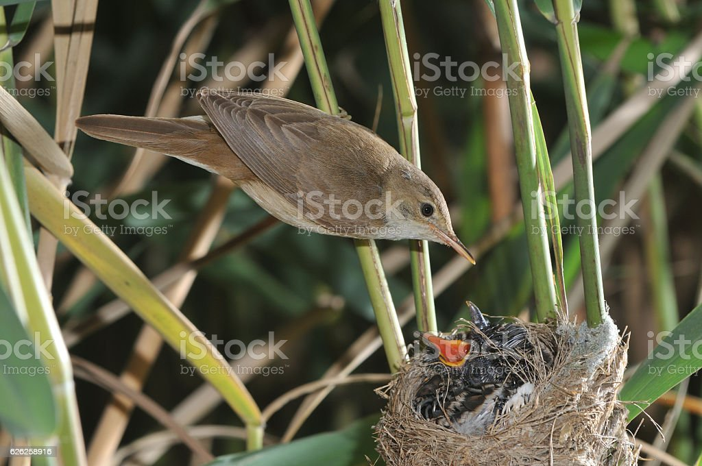 Reed warbler with cuckoo's chick stock photo