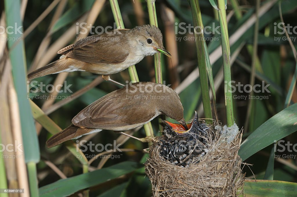 Reed warblers with cuckoo stock photo