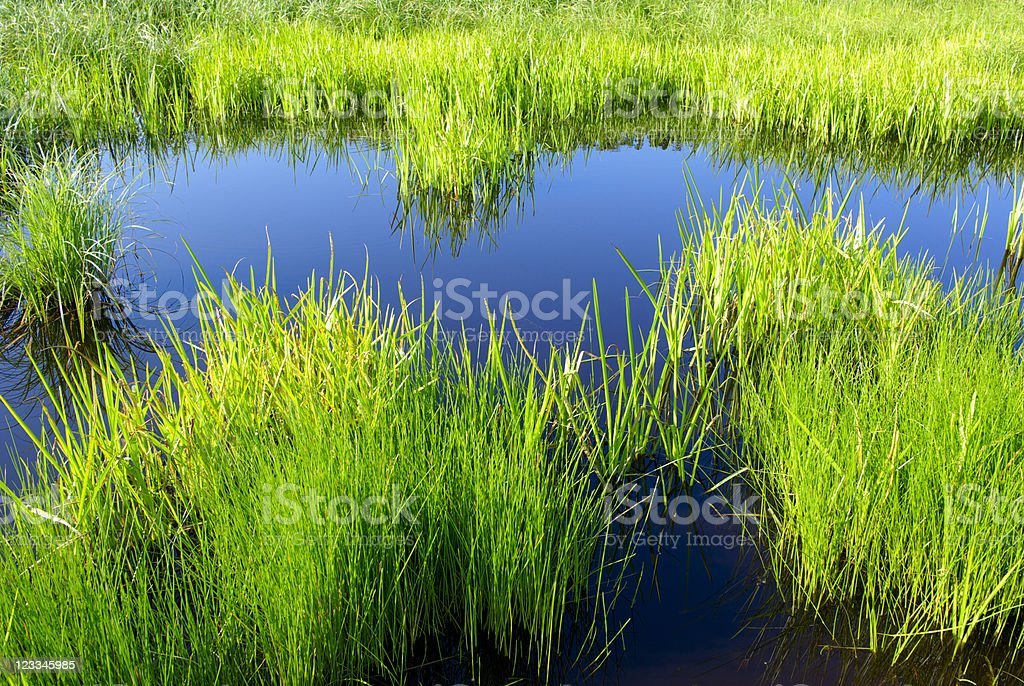 Reed water royalty-free stock photo