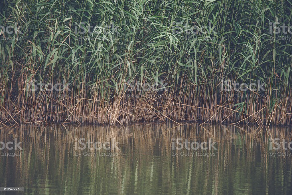 Reed with green leaves by a lake stock photo