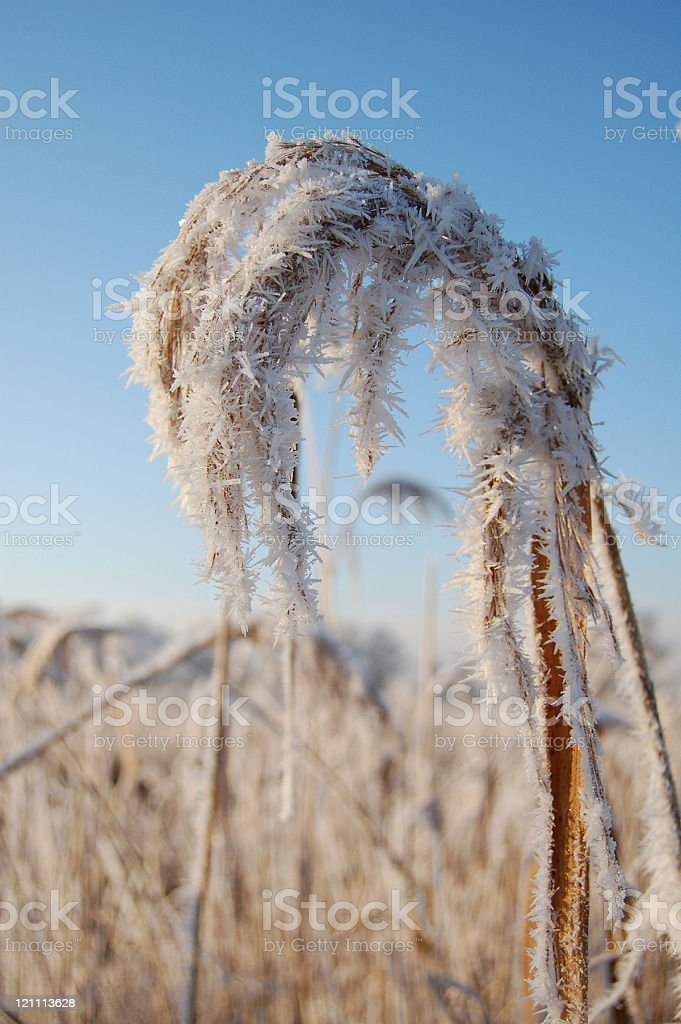 reed with ice crystals stock photo