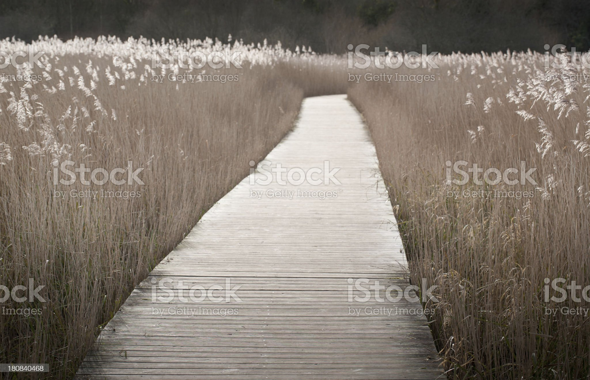 Reedbed boardwalk royalty-free stock photo