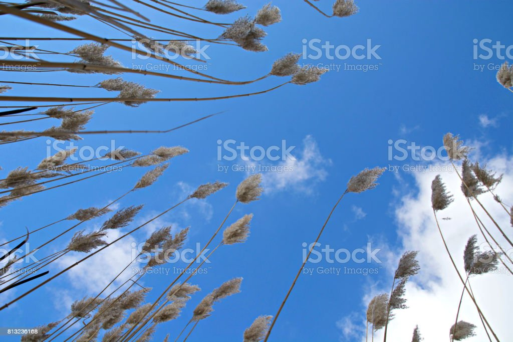 Reeds against the Clouds stock photo