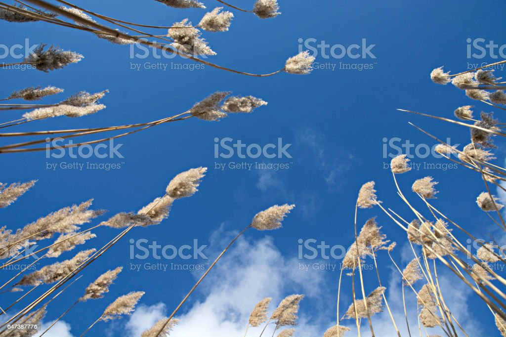 Reeds against the sky stock photo