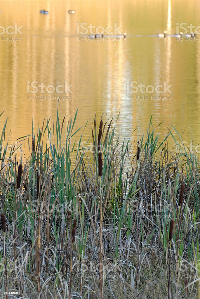 Reeds and Golden Reflection stock photo