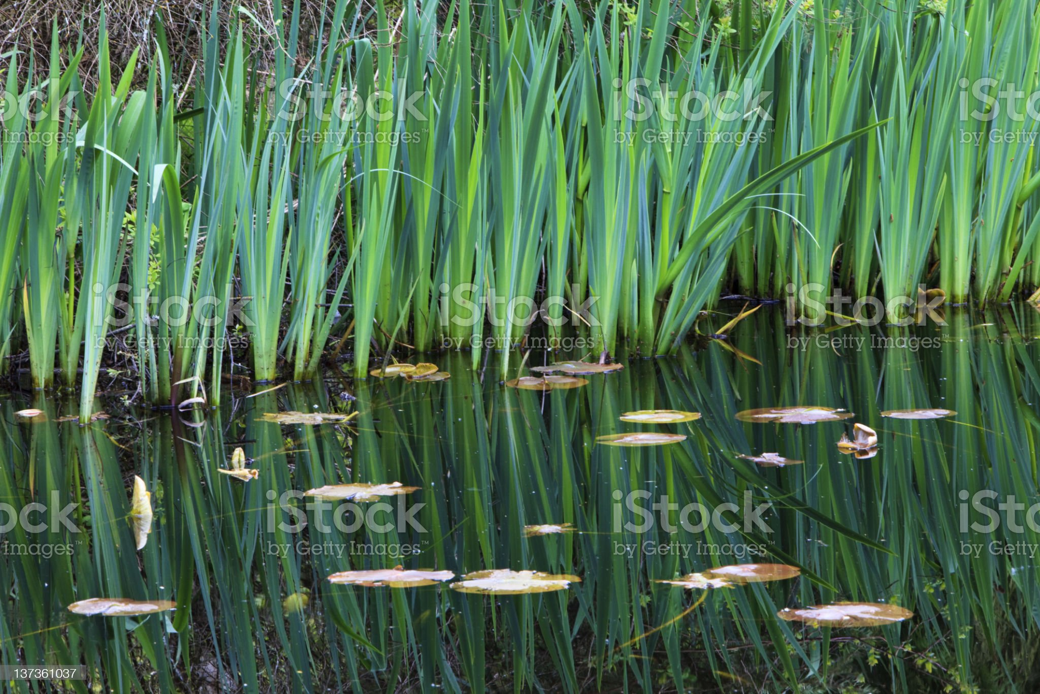 Reeds and Lily Pads royalty-free stock photo