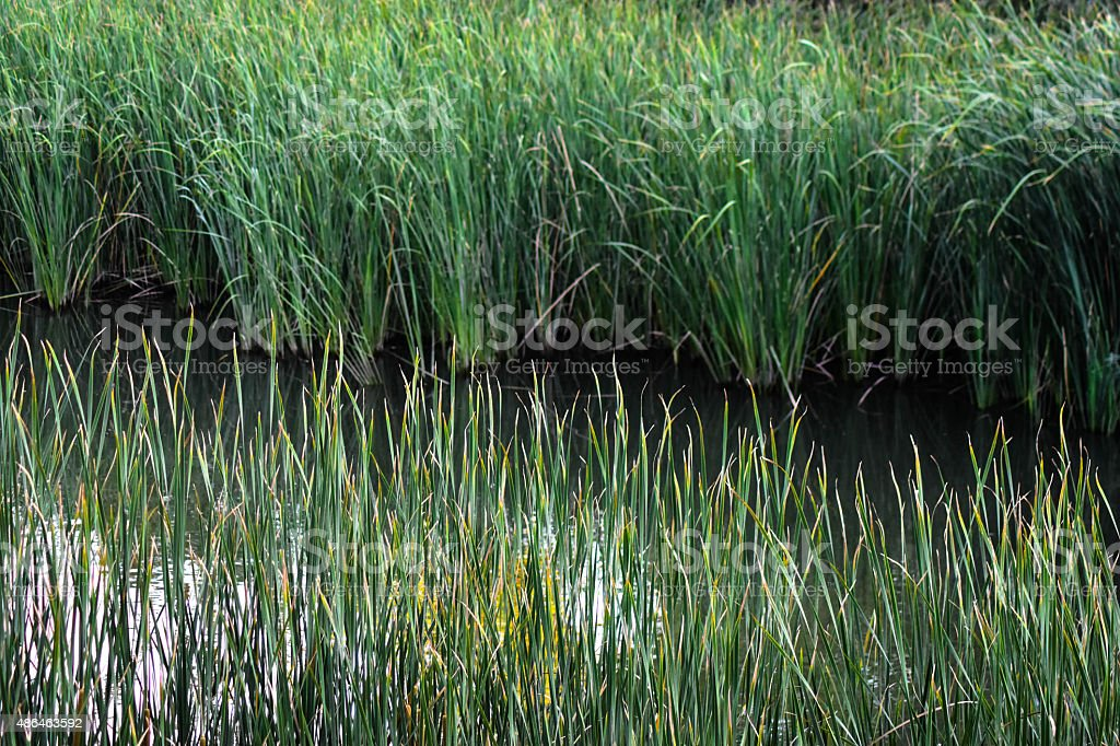 Reeds and River stock photo