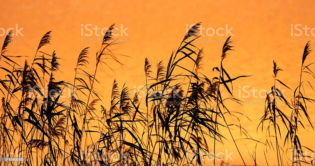 Reeds at sunrise stock photo