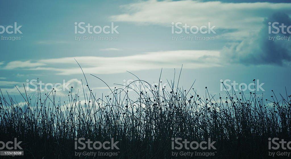 Reeds at sunset royalty-free stock photo