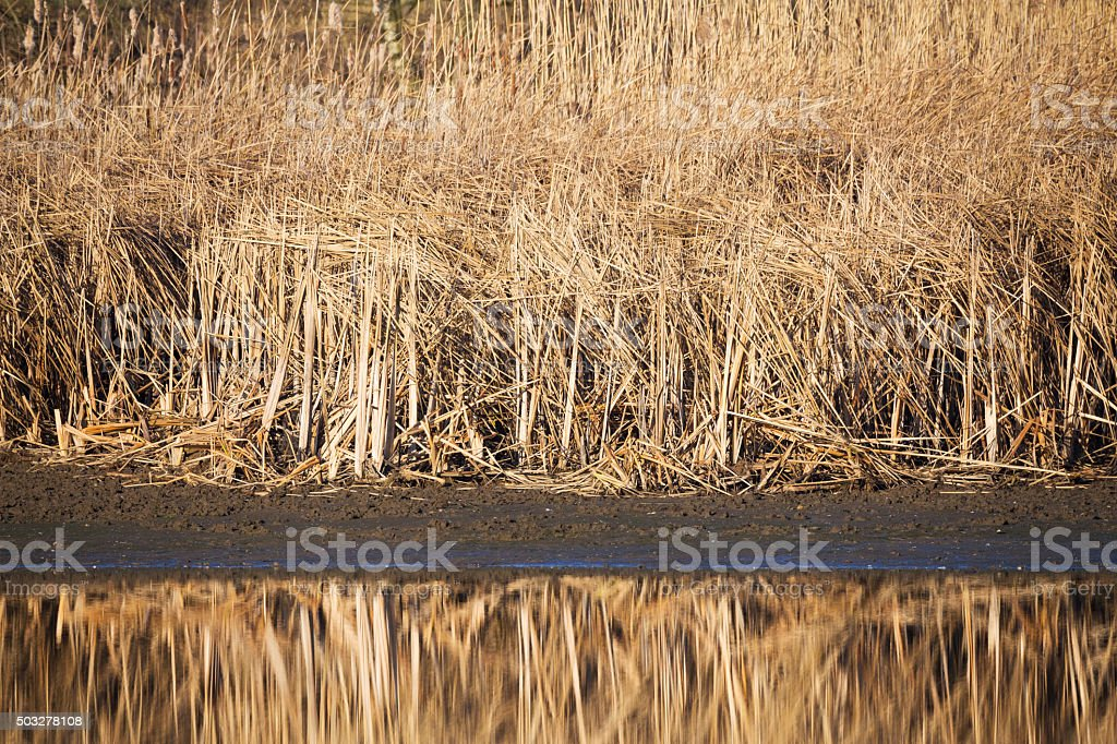 reeds at the pond stock photo