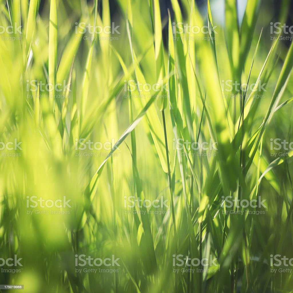 Reeds at the water royalty-free stock photo