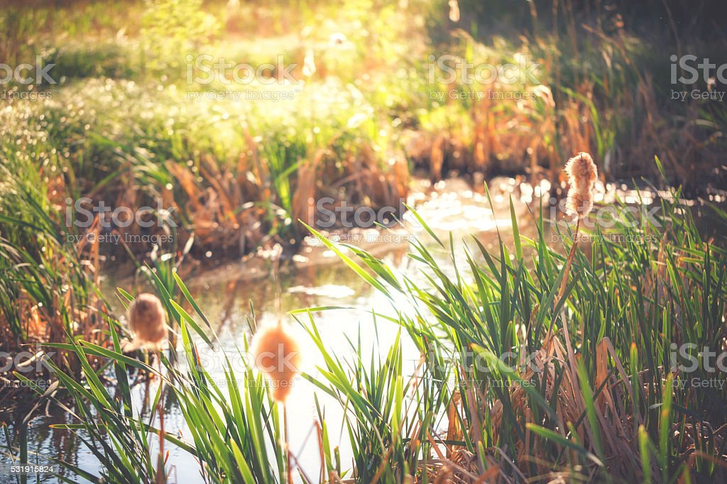 Reeds at the water stock photo