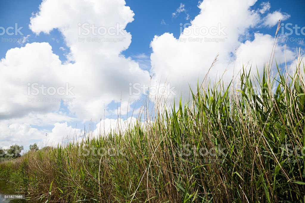 reeds for thatching growing ion Norfolk Broads England stock photo