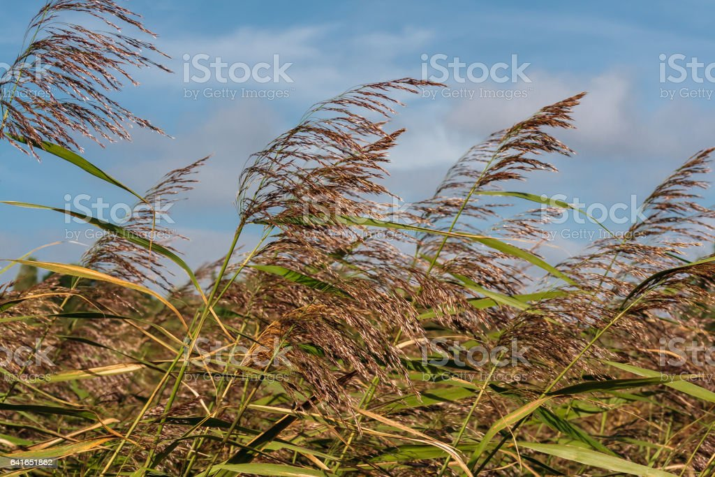 Reeds gently blowing in the breeze stock photo