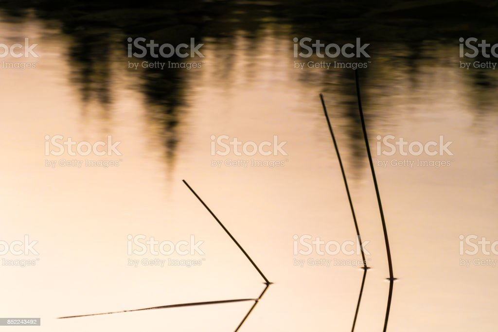 reeds in a pond at evening stock photo