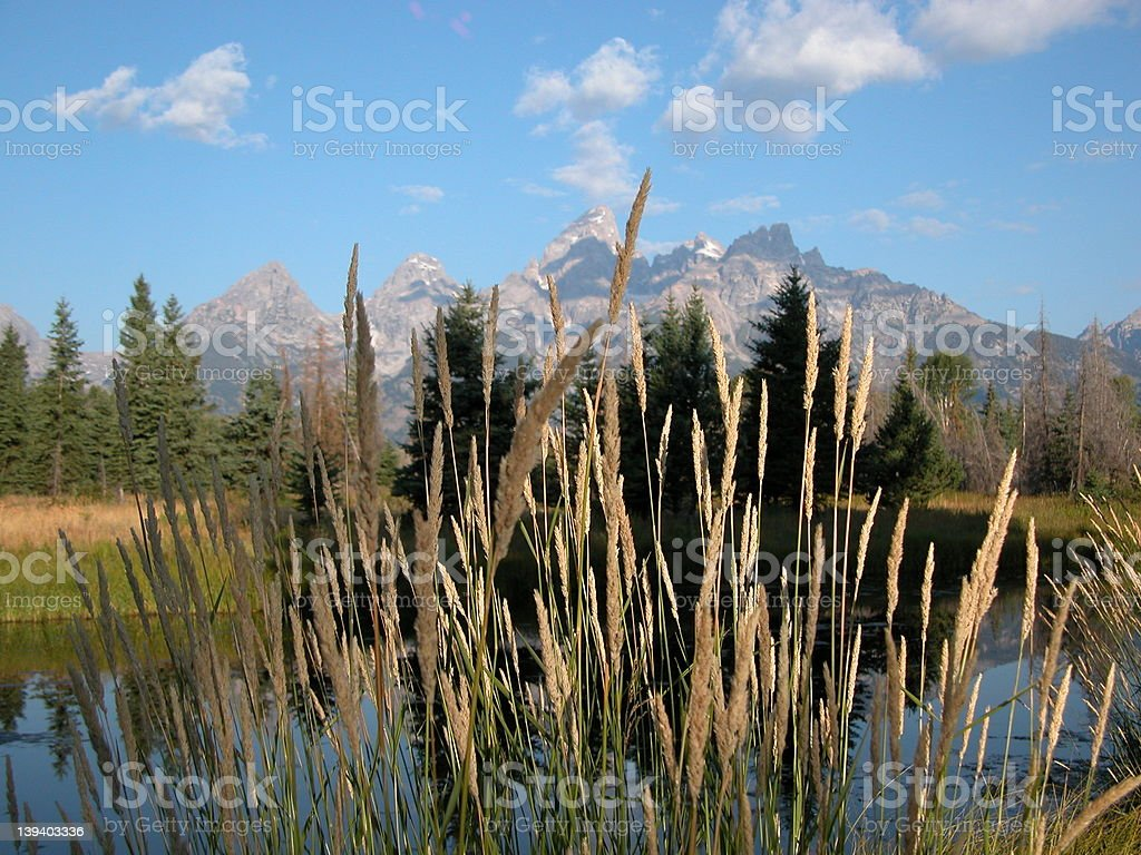 Reeds in  Foreground at Shwabacher's Landing royalty-free stock photo
