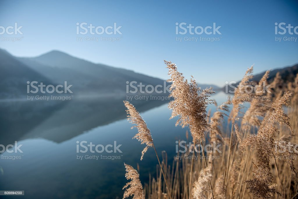 Reeds in front of a lake stock photo