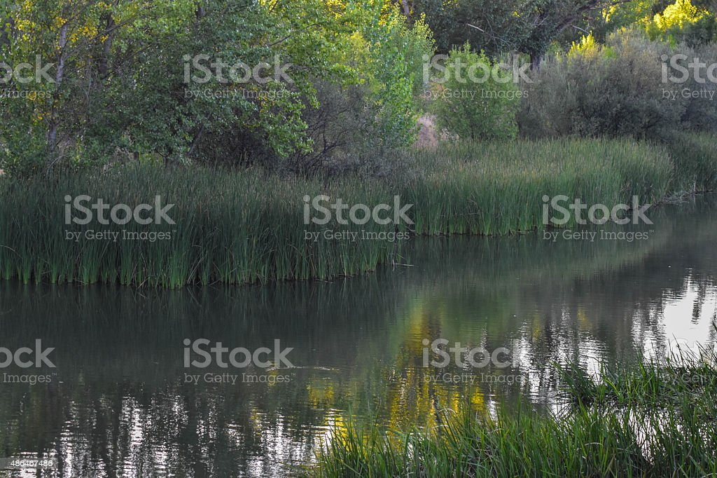 Reeds in summertime stock photo