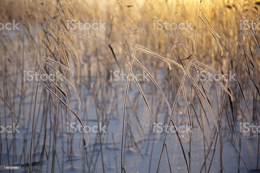 Reeds in the winter royalty-free stock photo