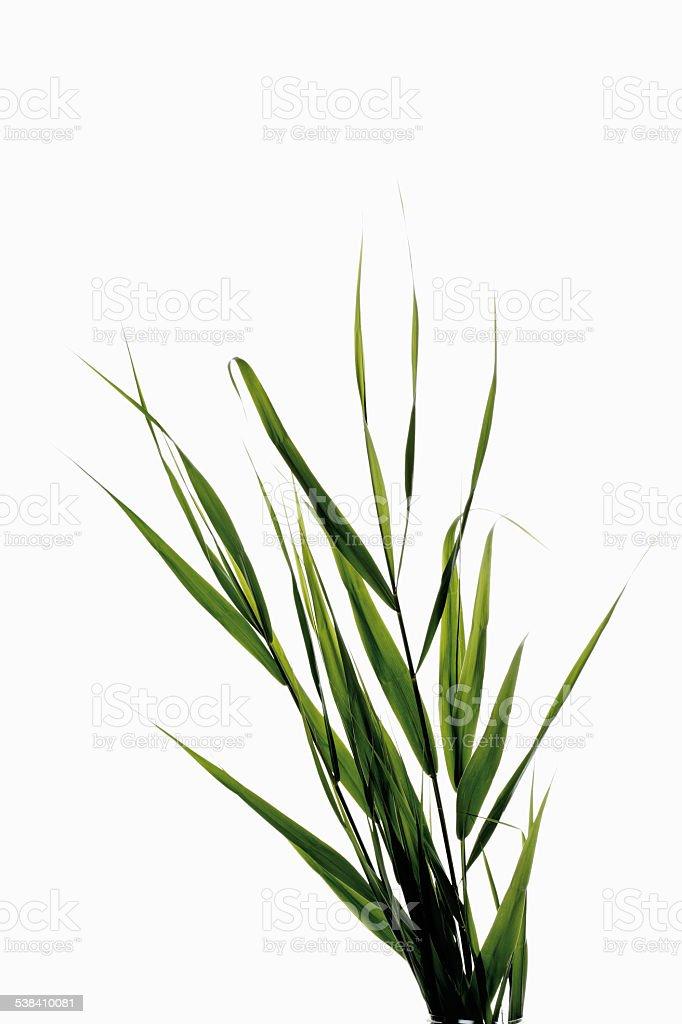 Reeds leaves (Phragmites) stock photo