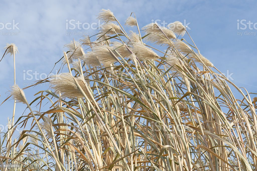 Reeds on a field against blue sky stock photo