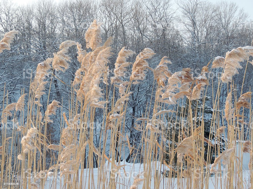 Reeds on the background of winter forest stock photo