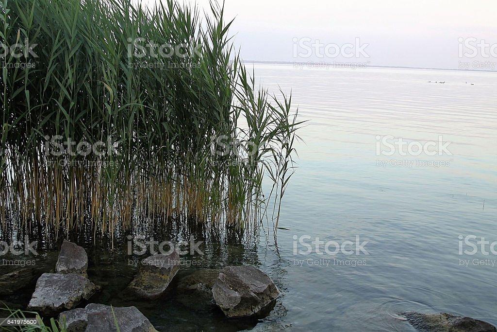 Reeds on the lake stock photo