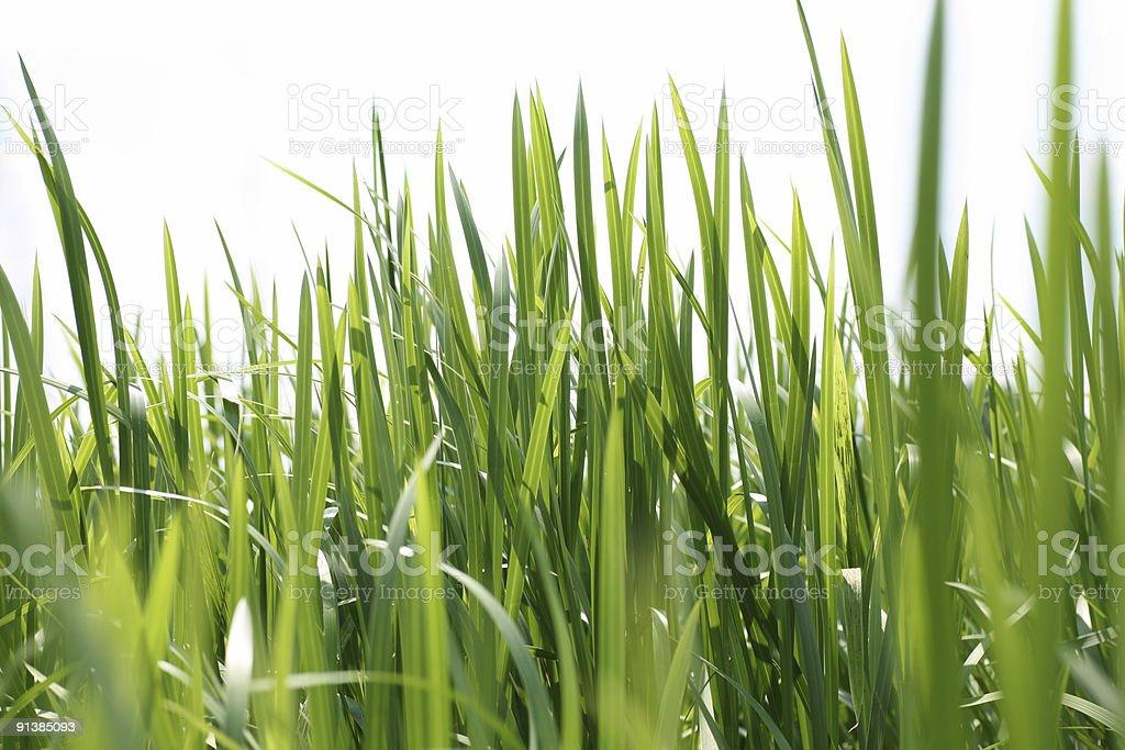 Reeds on white stock photo