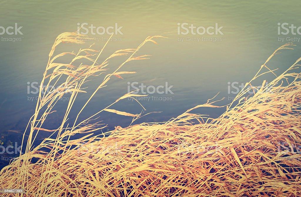 Reeds foto de stock libre de derechos