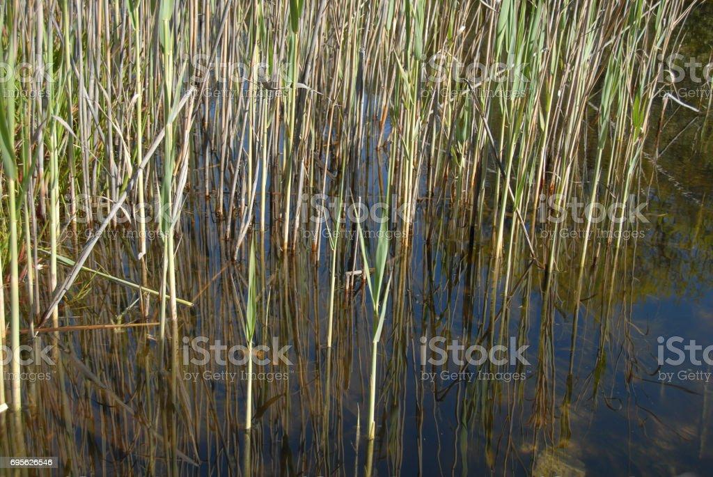 Reeds reflected stock photo