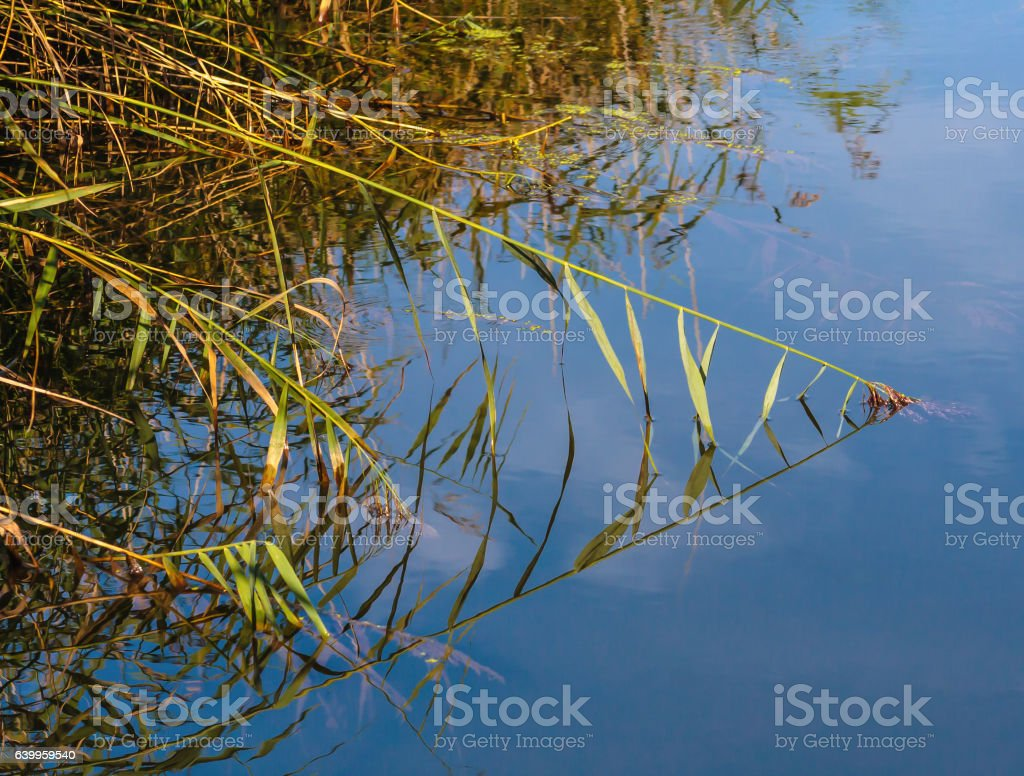 Reeds reflecting on the water in a triangle stock photo