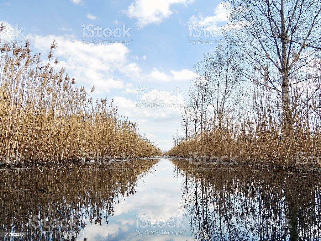 Reeds reflection in calm swamp water stock photo