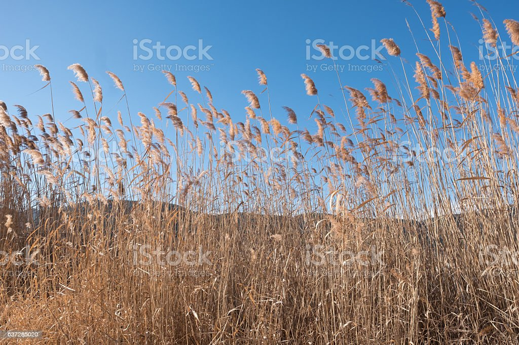 Reeds swaying in the wind stock photo
