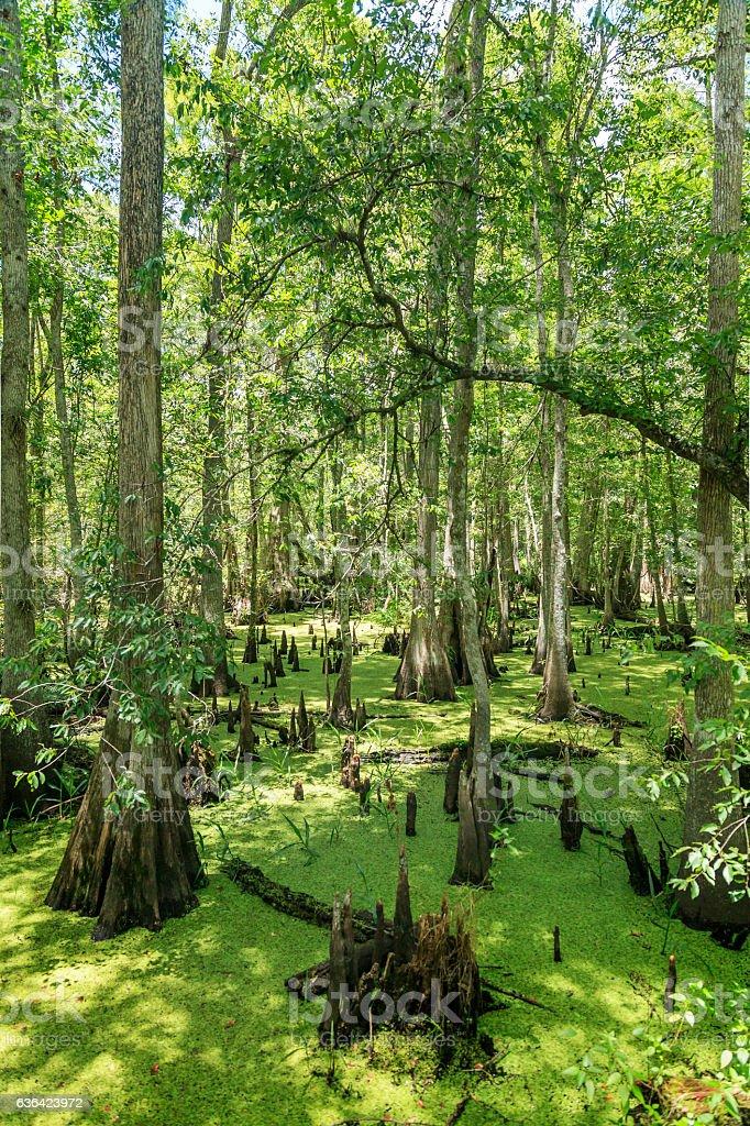 Reedy Creek Swamp Views stock photo