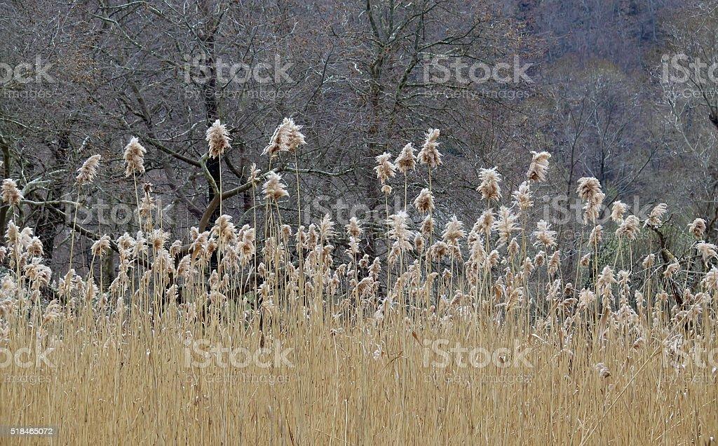 Reedy stock photo