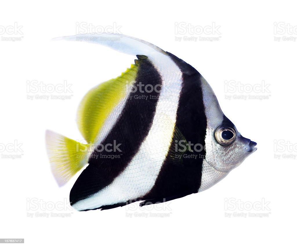 Reef bannerfish stock photo