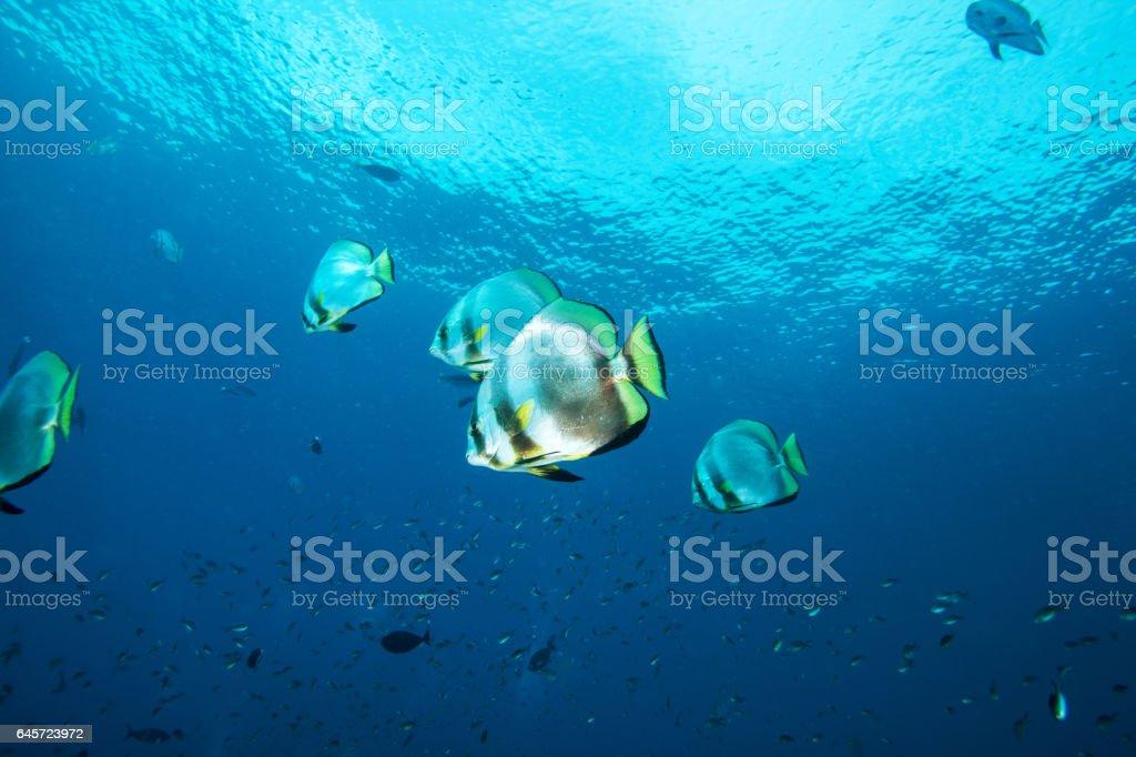 Reef fish. Sipadan island. Celebes sea. Malaysia. stock photo