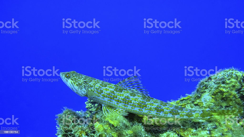 Reef Lizardfish in deep thoughts on a coral, Curacao stock photo