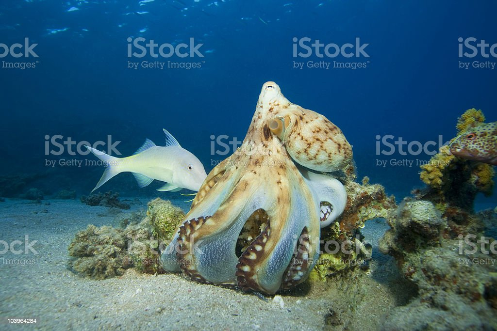 Reef Octopus hunting stock photo