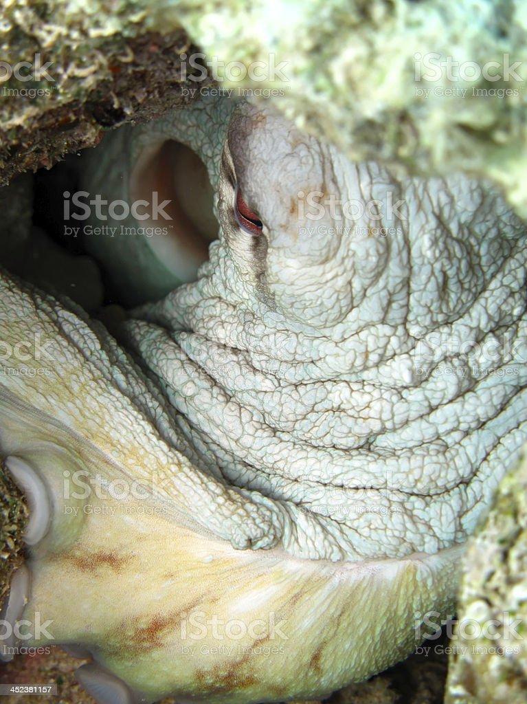 Reef octopus stock photo