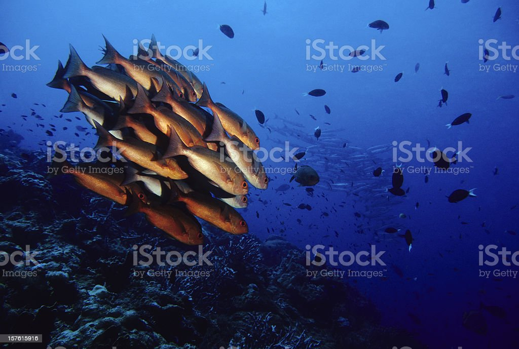 Reef Rush Hour, Snappers and Barracudas royalty-free stock photo