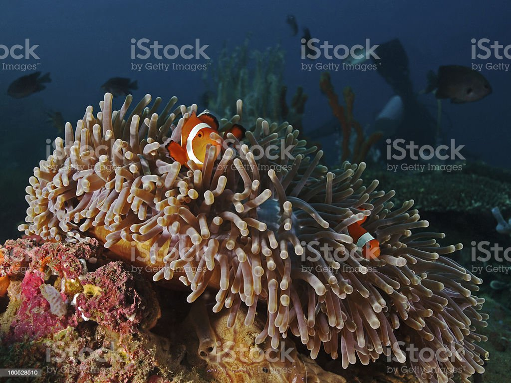 Reef scenery (Sea anemone with Clown fishes) stock photo
