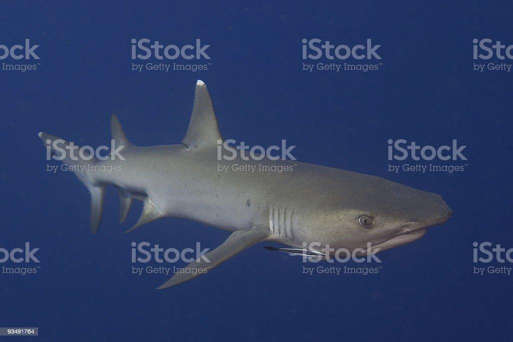 Reef Shark close-up royalty-free stock photo