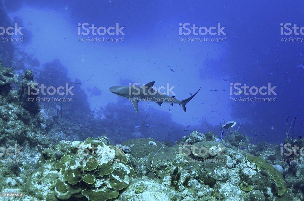 Reef Shark in TCI stock photo