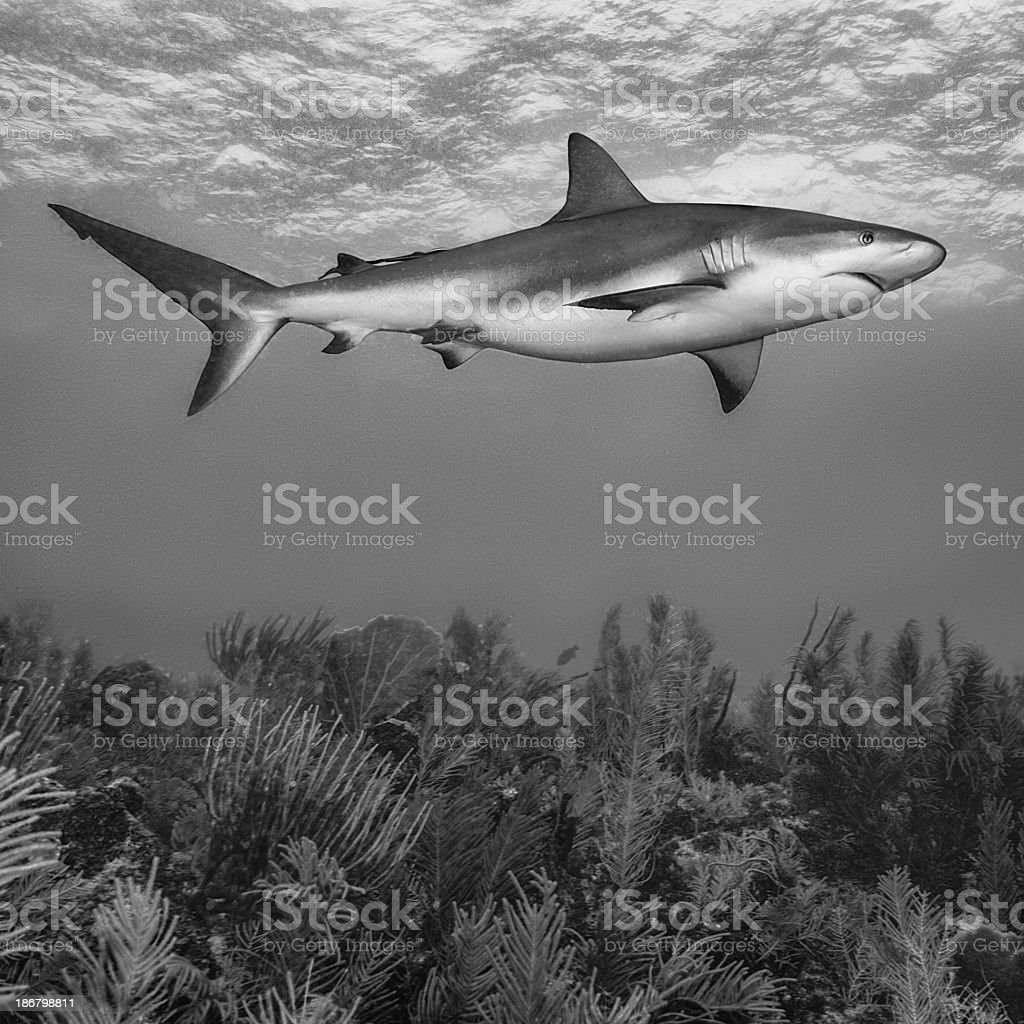 Reef shark royalty-free stock photo