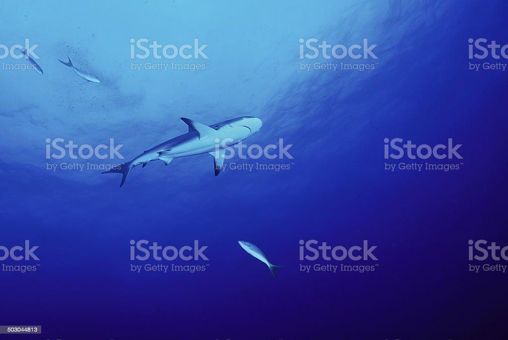 Reef Shark stock photo