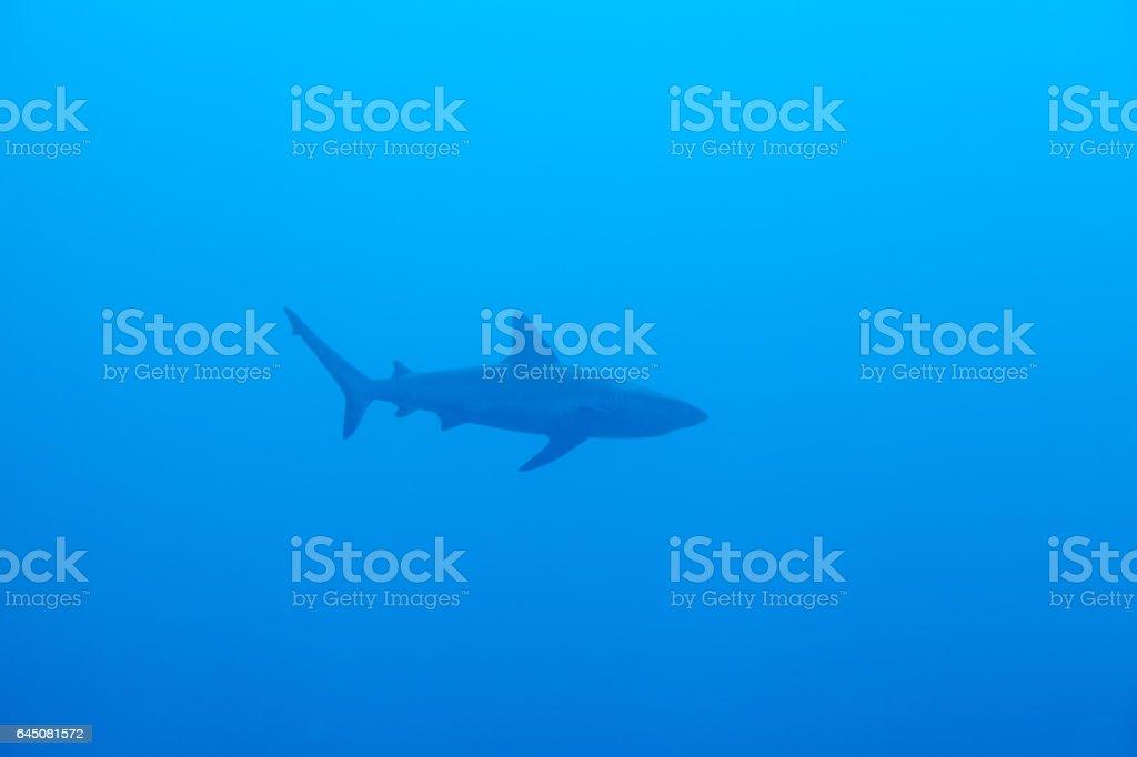 Reef shark. Sipadan island. Celebes sea. Malaysia. stock photo